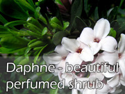 Daphne - beautiful perfumed shrub