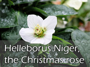 Helleborus Niger, the Christmas rose