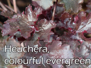 Heuchera, colourful evergreen