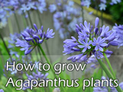 How to grow Agapanthus plants