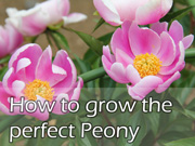 How to grow the perfect Peony