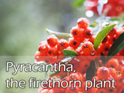 Pyracantha, the firethorn plant
