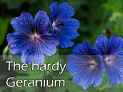 The hardy Geranium